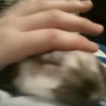 羨ましいベットで眠りに落ちるロップイヤーの赤ちゃん。